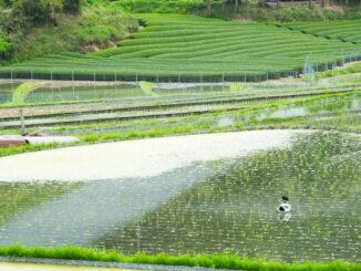 田んぼと鴨の画像