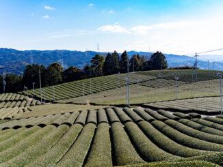 和束町の茶畑画像